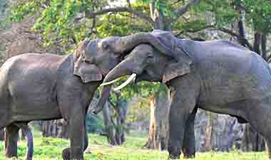 Kala Wewa elephant fight