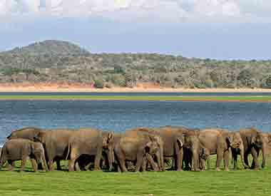 Herd of elephants at Minnariya