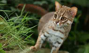 Lahugala Rusty Spotted cat