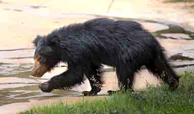 sloth bear at Wilpattu
