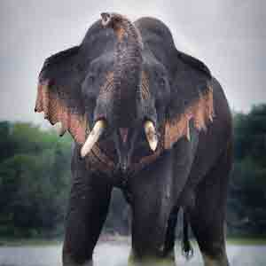 "Safari, English meaning of Sinhala term ""Thani Aliya"" is Single wild elephant isolated from the group(pack)"