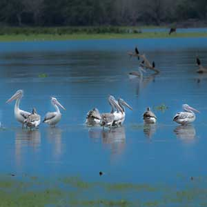 Birds from Sri lanka (Pelicans), Safaris in Sri Lanka