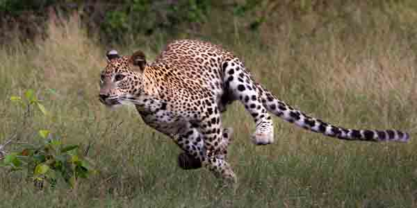 safari holidays in Sri Lanka Leopard hunting its prey at Wilpattu Sri Lanka