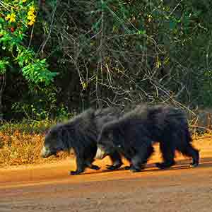 wilpattu Safari, Sloth bear family at wilpattu Sri Lanka
