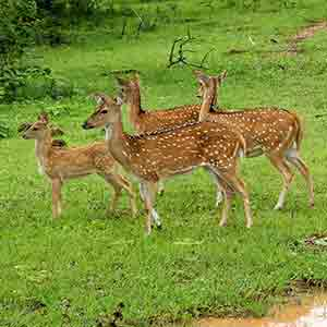 Axis deer at Udawalawe Sri Lanka, safari tours